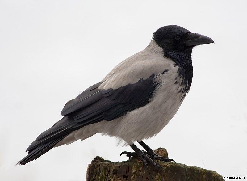 Ворона картинка для детей на белом фоне